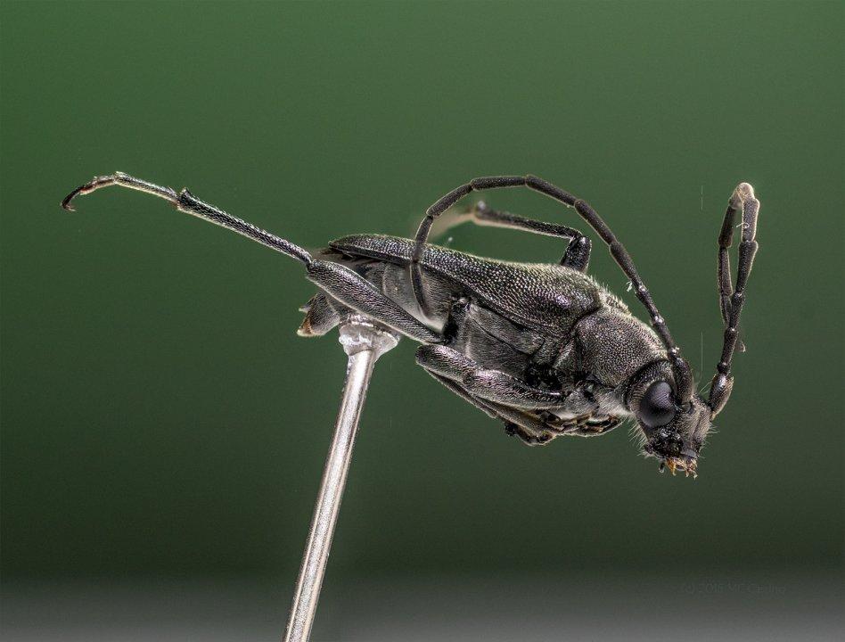 Longhorn Beetle - Reference Image