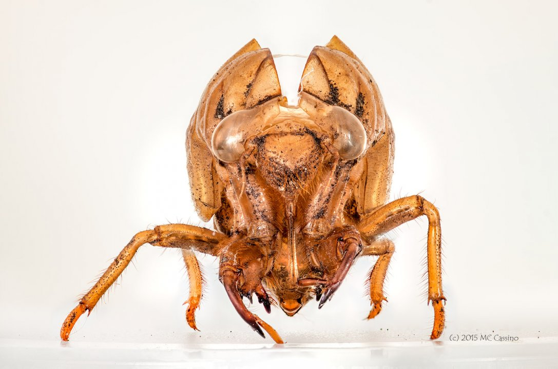 Stacked macro photograph of an insect exuviae.