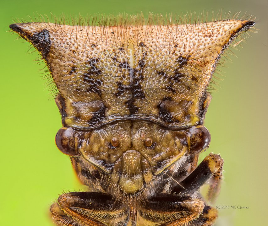 Treehopper, Membracis, ssp
