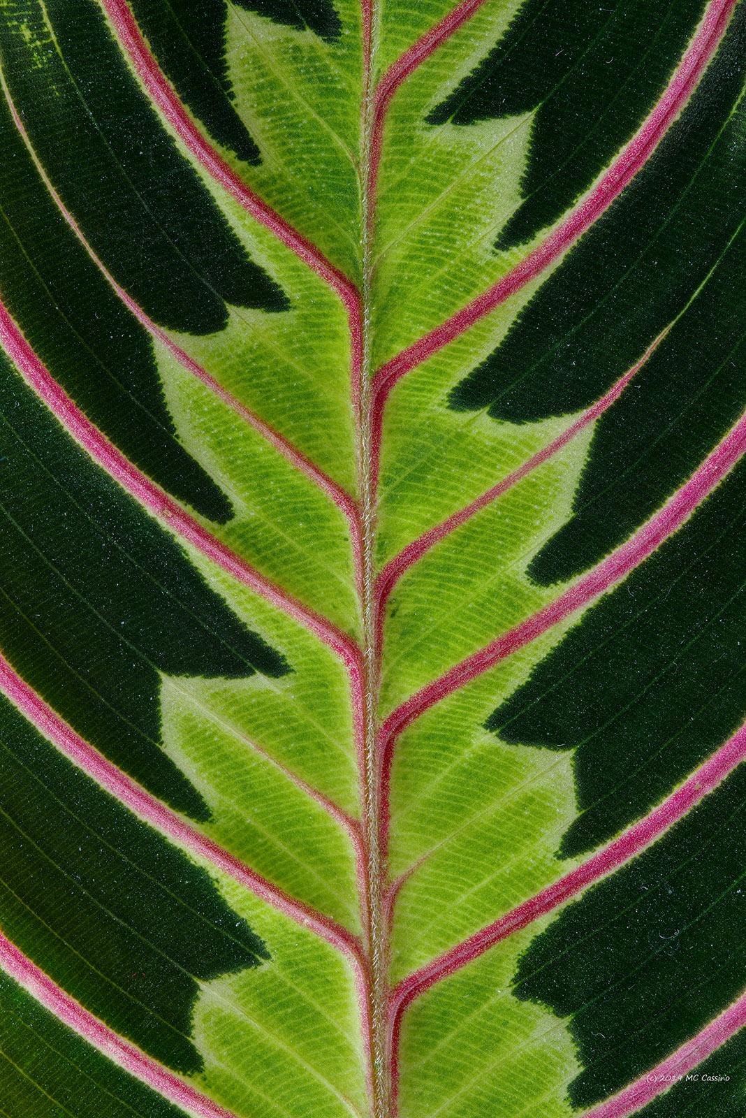 Prayer Plant (Maranta) Leaf Detail