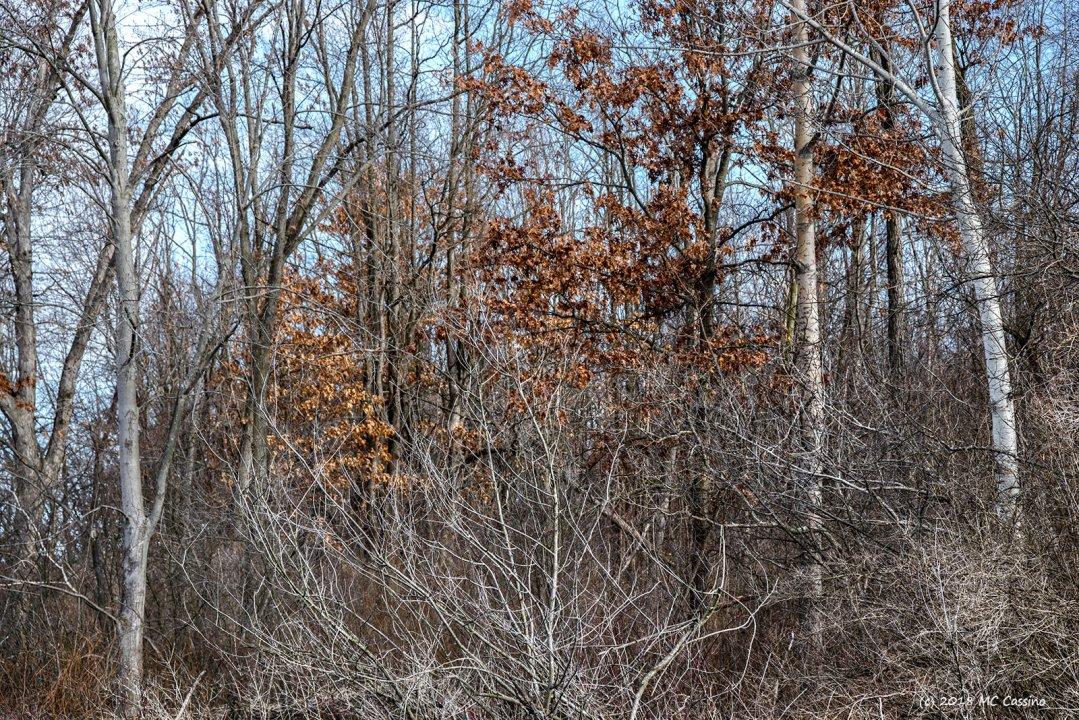 Birches and Scrubby Brush
