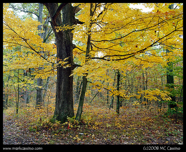 Autumn Tree In The Allegan Forest