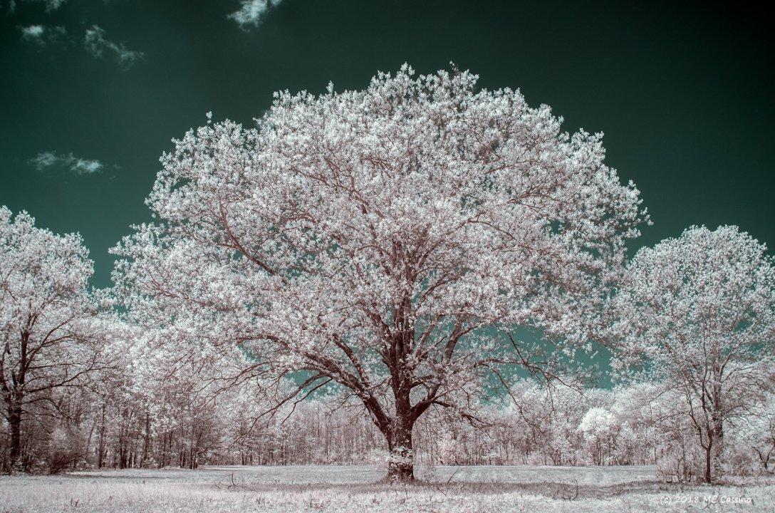 Oak In Spring Foliage