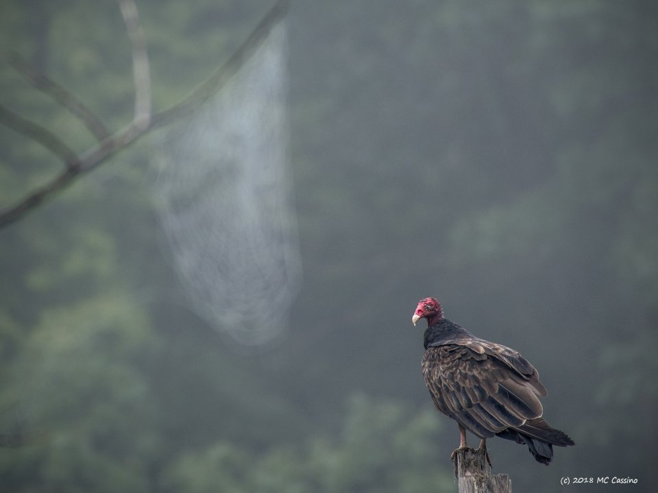Foggy Morning Vulture