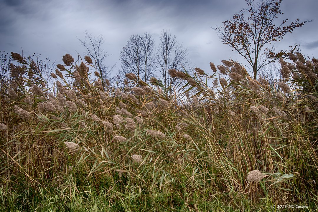 Wind Tossed Weeds