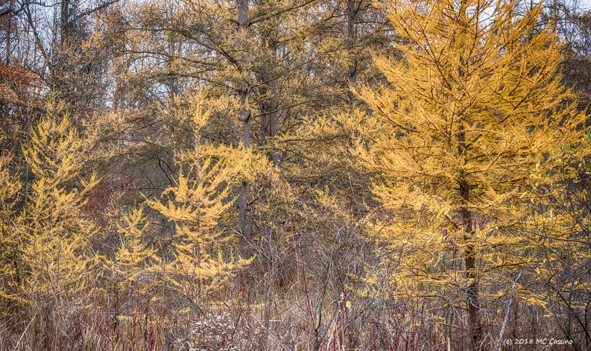 Tamarack Trees in the November Wastes