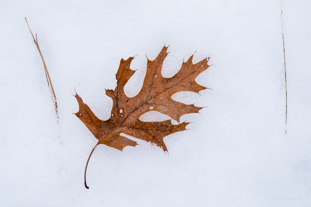 Oak Leaf with Pine Needles
