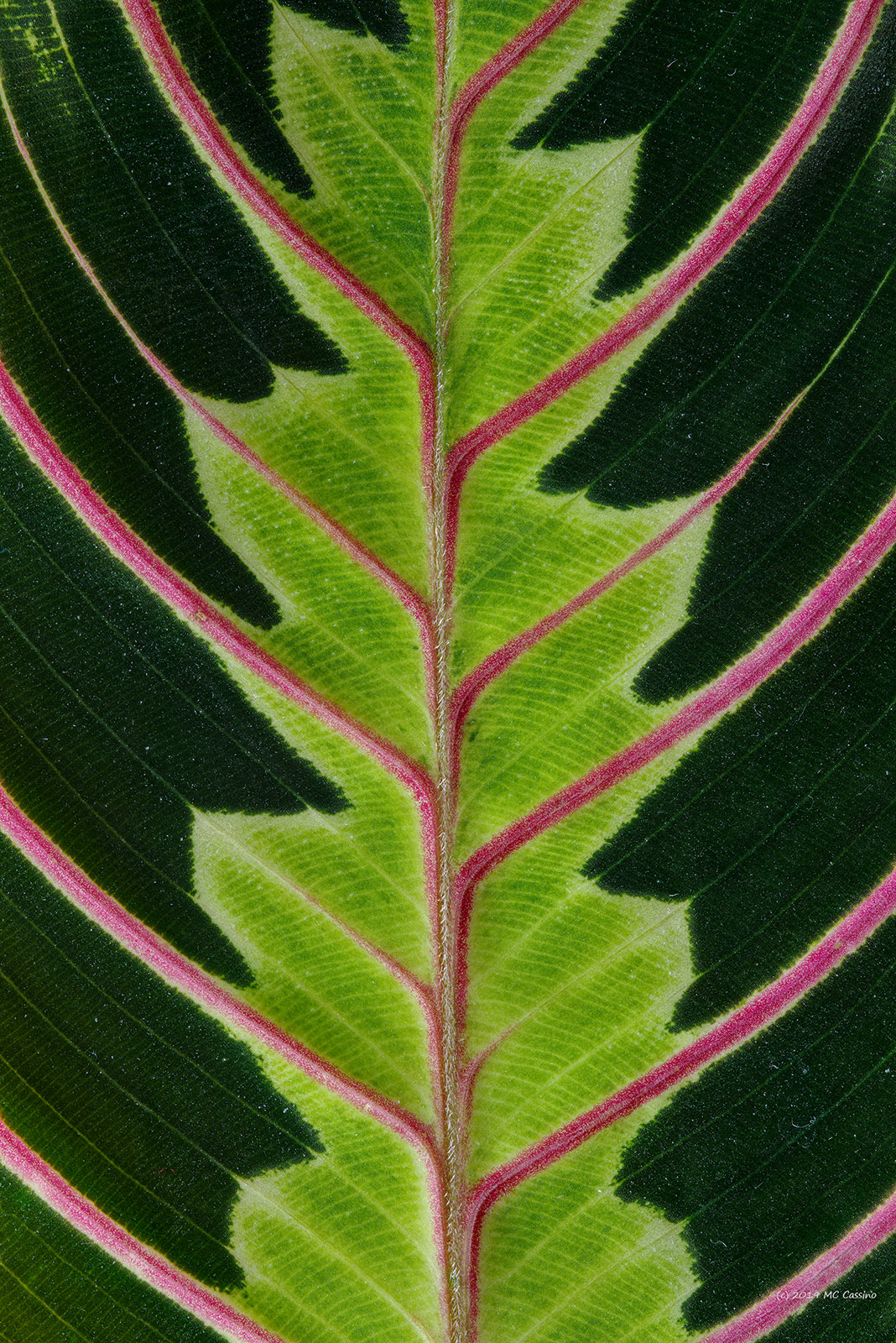 Prayer Plant (Maranta) Leaf Detail