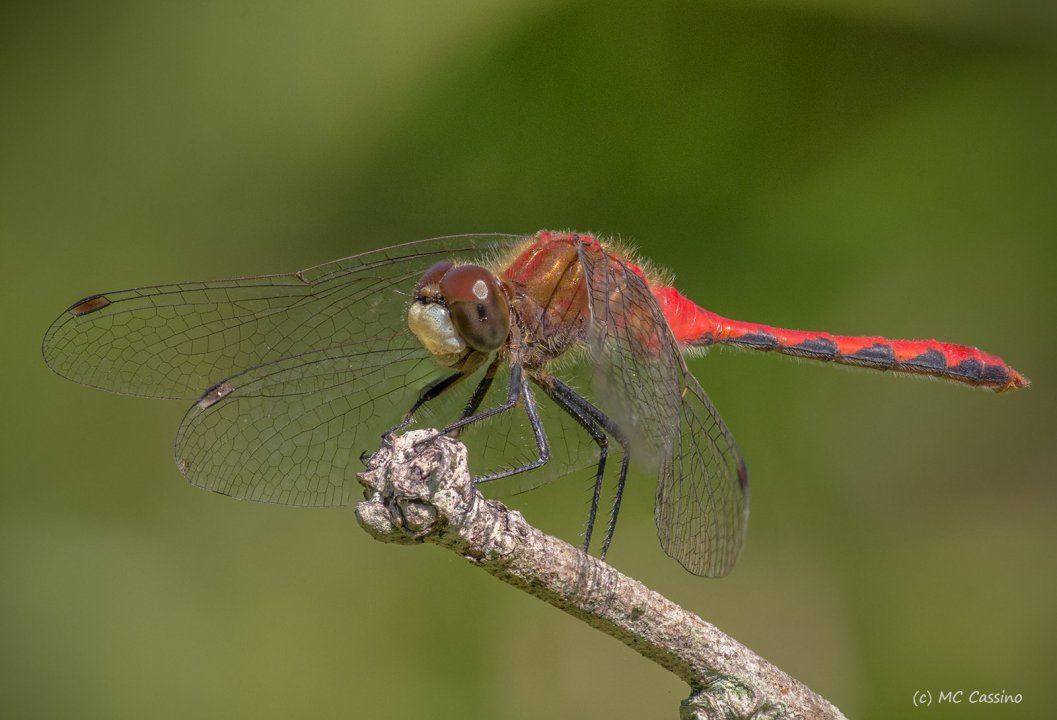 Meadow Hawk Dragonfly