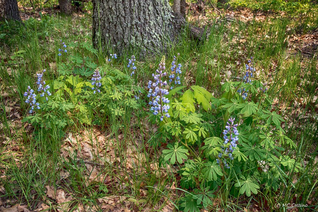 Lupine and Dried Leaves