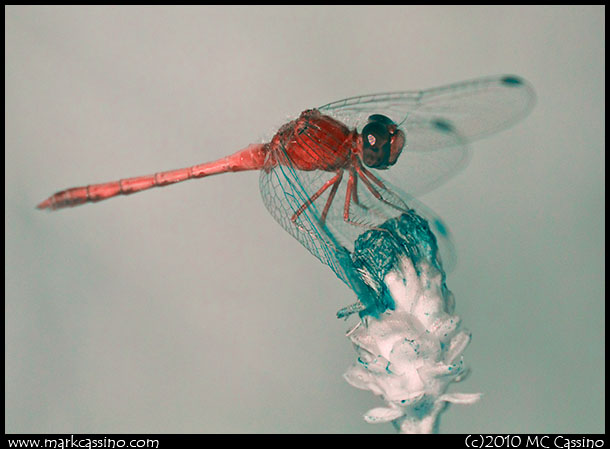 Infrared photograph of an Autumn Meadowhawk Dragonfly