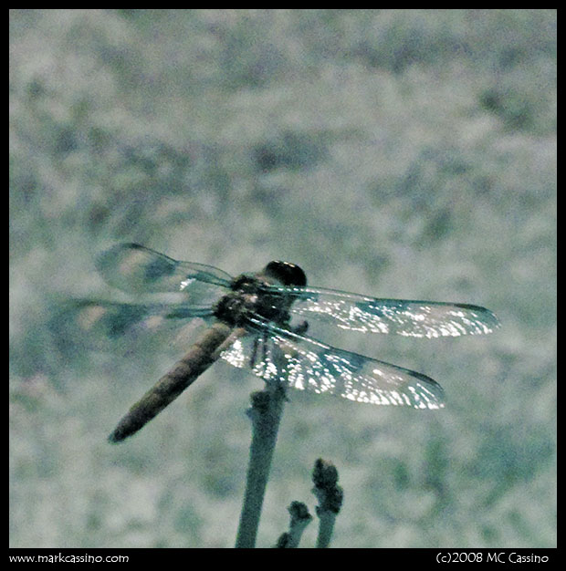 Digital Infrared Photo of a Dragonfly