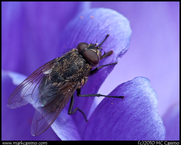 Fly in Crocus Flower