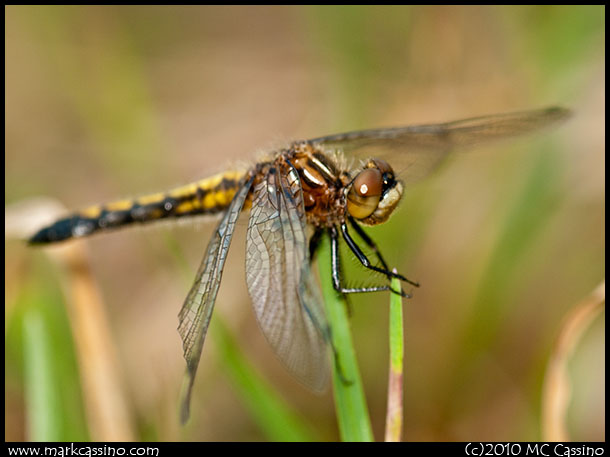Immature Blue Dasher Dragonfly