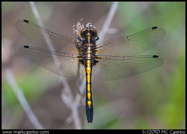 Dottailed WHiteface Dragonfly