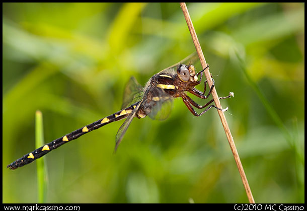 Brown Siketail Dragonfly