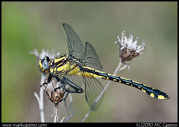 Splendid Clubtail Dragonfly