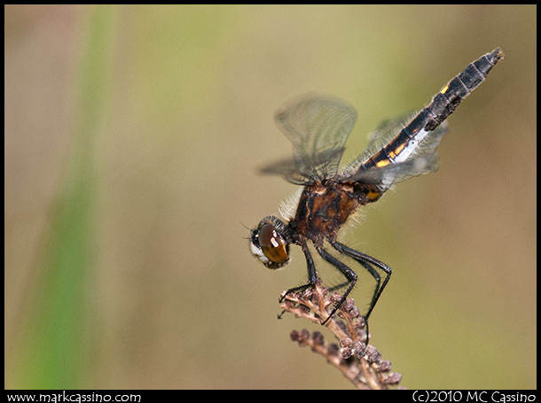 Belted Whiteface Dragonfly