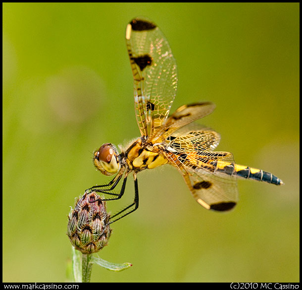 Califo Pennant Dragonfly