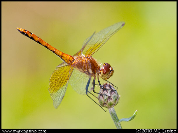 Band Winged Meadowhawk