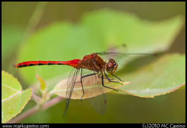 Red Meadowhawk Dragonfly