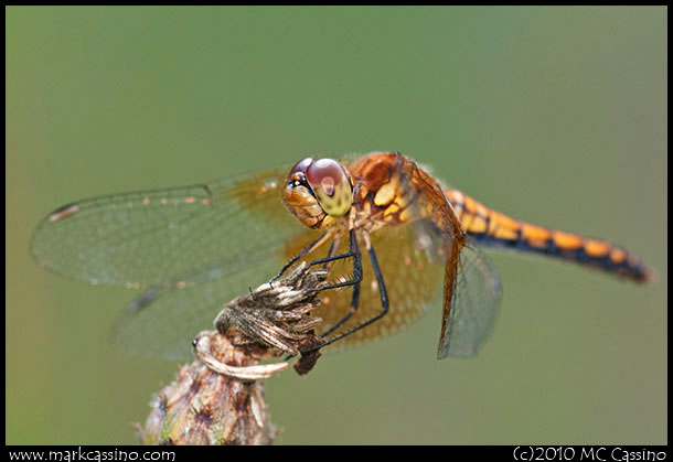 Band Winged Meadowhawk Dragonfly