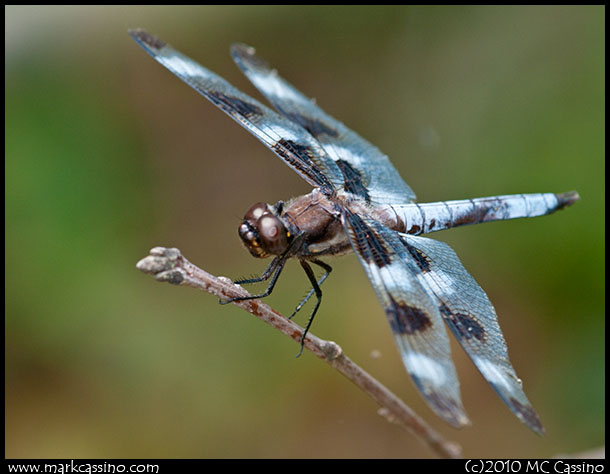 Rwelve Spotted Skimmer Dragonfly