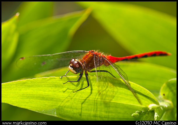Whitefaced Meadowhawk Dragonfly