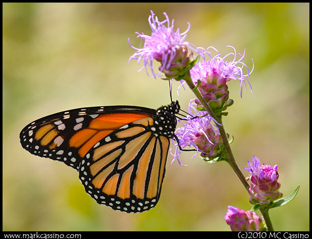 Photo of a MOndarch Butterfly on Ironweed