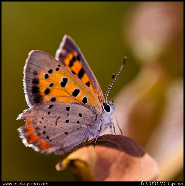 A photograph of an American Copper Butterfly