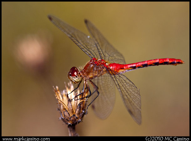 A photograph of a red meadowhawk dragonfly