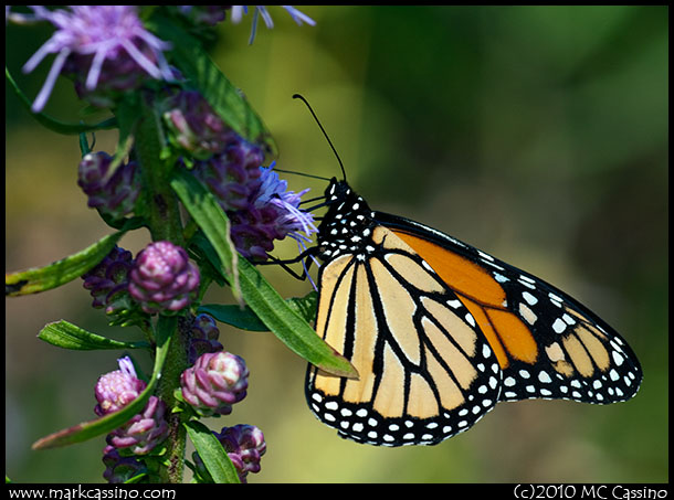 A photograph of a Monarch Butterfly