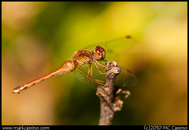 Photograph of an AUtumn Meadowhawk Dragonfly
