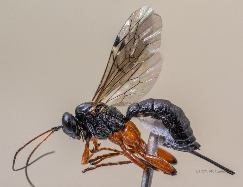 Braconid Wasp - Full Insect