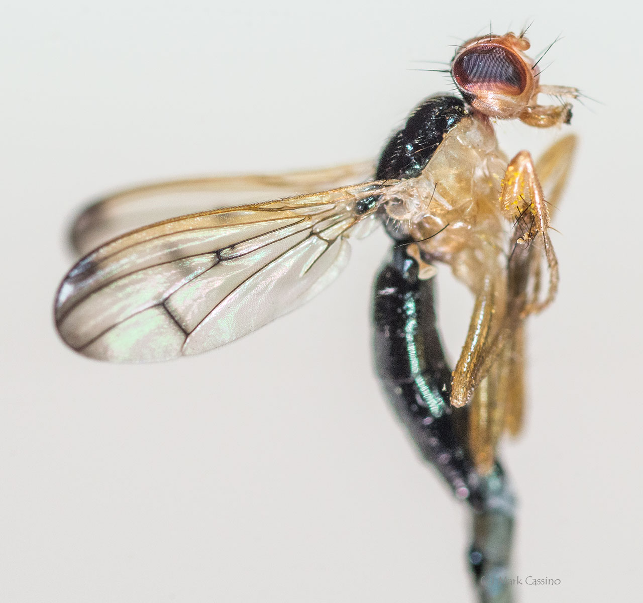 Unidentified Fly Mounted on a Pin