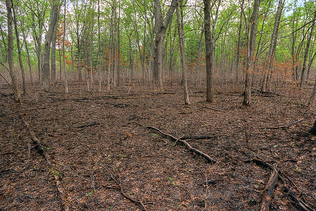 Woods following a prescribed burn.