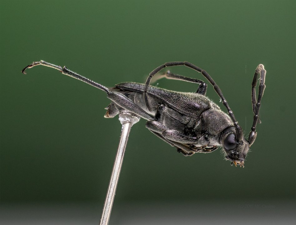 Longhorn Beetle - Reference Image