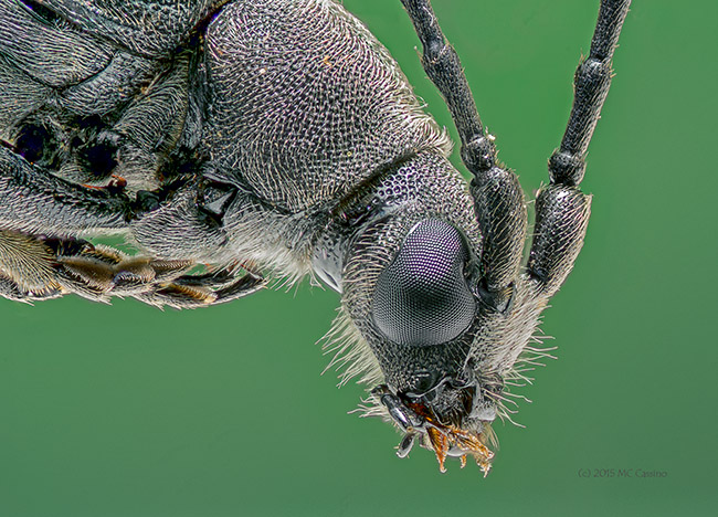 4x Extreme Macro photo of a Longhorn Beetle