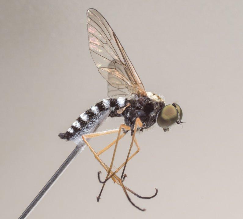 Ornate Snipe Fly (Chrysopilus ornatus)