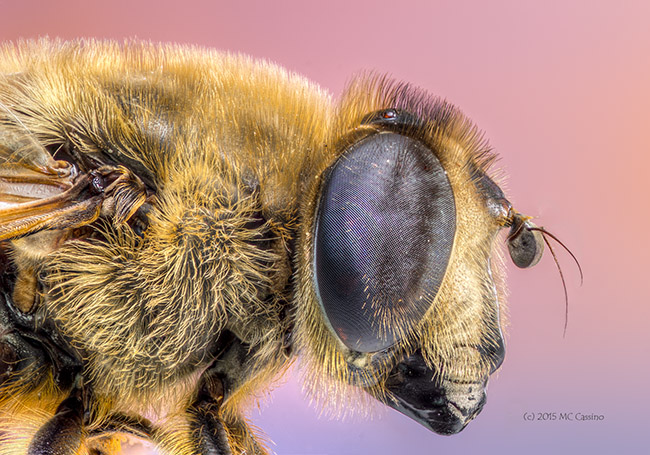 Bee Mimicking Fly