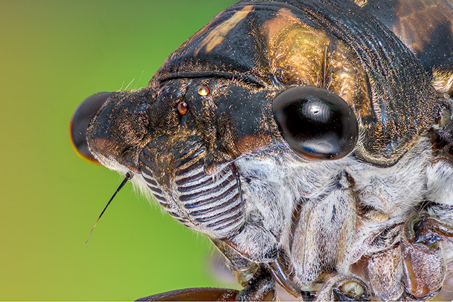 Cicada - super macro photo of a cicada, Tibicen linnei.