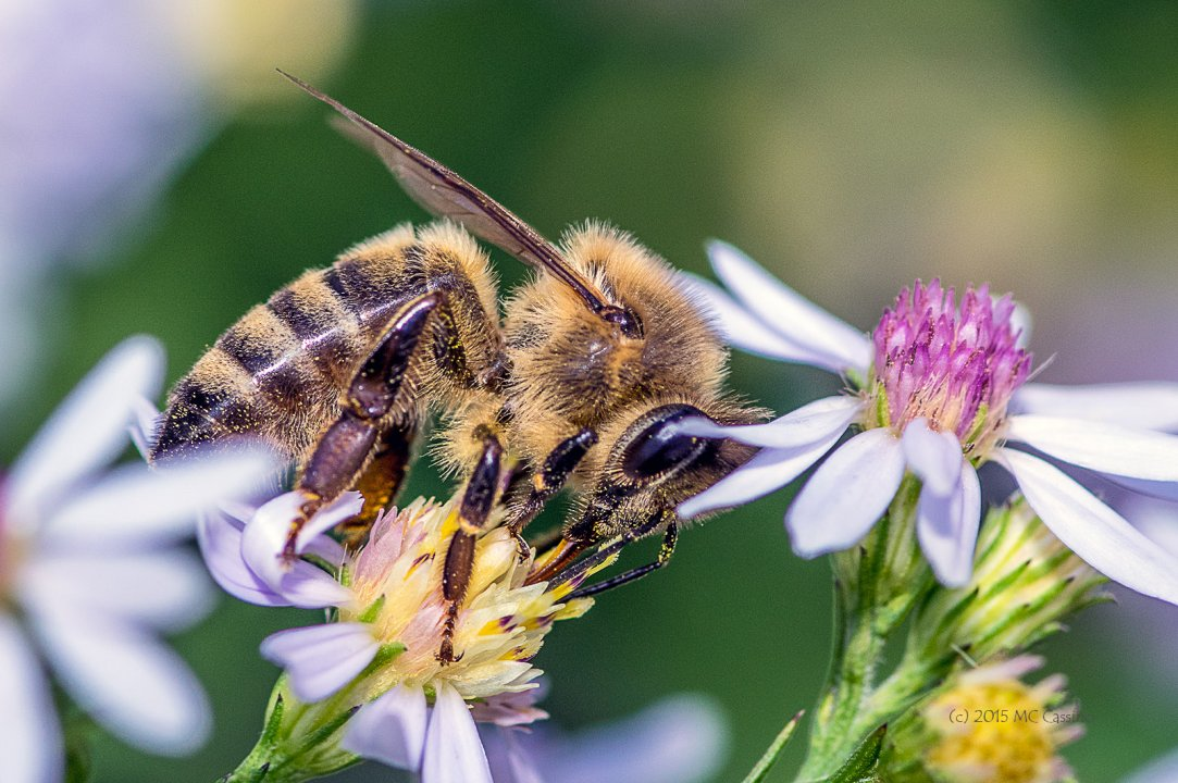 Honey Bee (Apis mellifera) On Aster