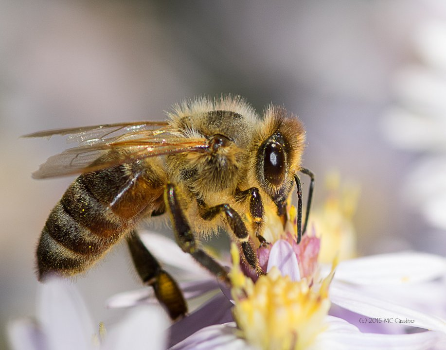 Honey Bees in Autumn Aster