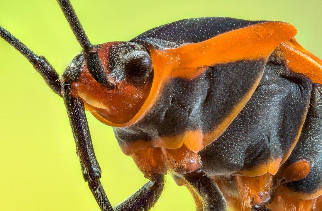 Milkweed Bug, Oncopeltus fasciatu
