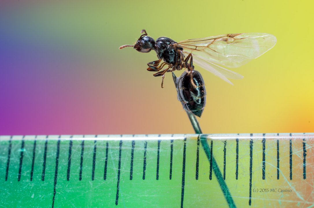 Small Wasp (Reference Image)