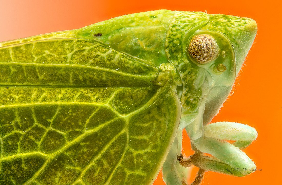 DOF Stacked Photograph of Planthopper Insect