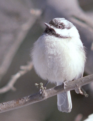 Leucistic Black Capped Chickadee In Kalamazoo County, Michigan