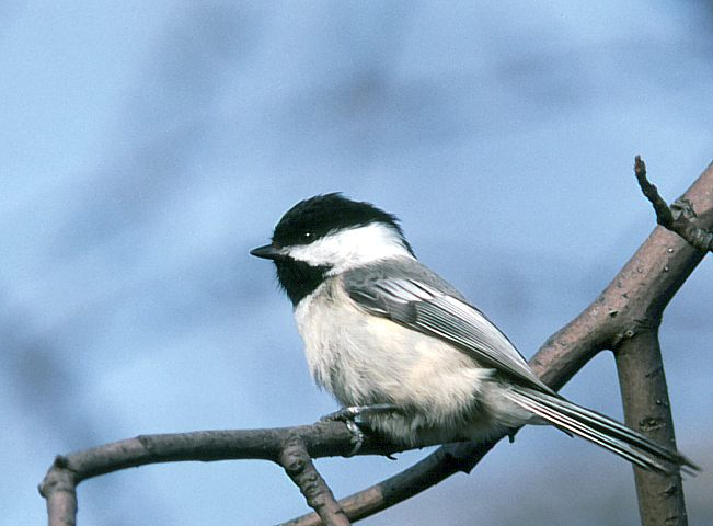 Normal Black Capped Chickadee In Kalamazoo County, Michigan