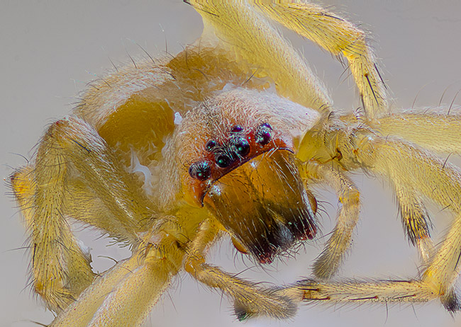 Extreme Macro Photograph of a Sac Spider - 123 combined images