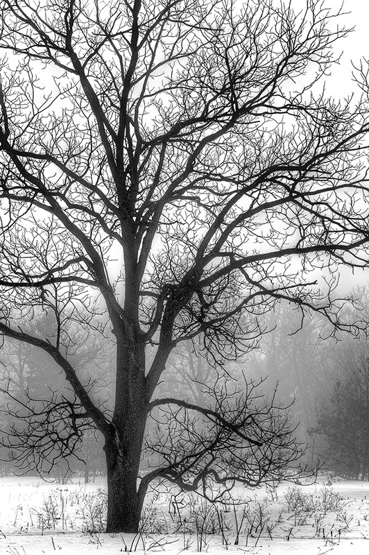 Photograph of a Tree on a Foggy March Morning